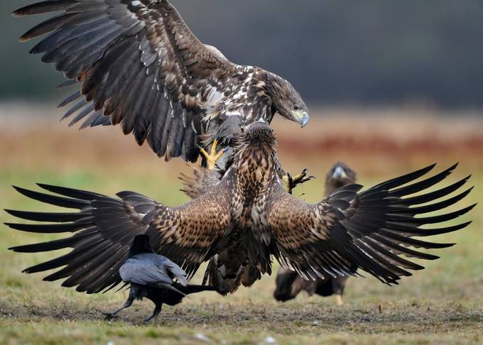 White-tailed eagle, cosy conversation by 4-your-eyes - Just Eagles Photo Contest