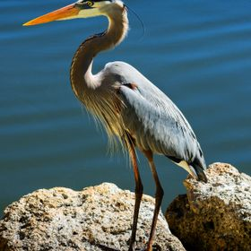 Blue Heron on a Rock