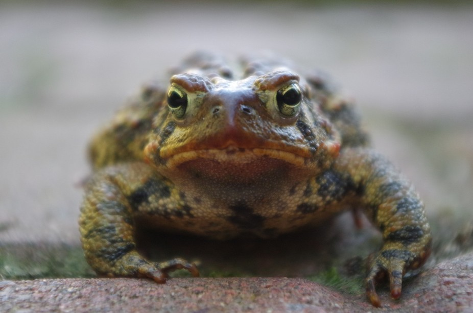 I took this photo earlier last fall. The toad didn't really like my camera and its lens,...