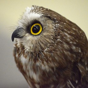 Saw-whet Owl, the smallest in the world