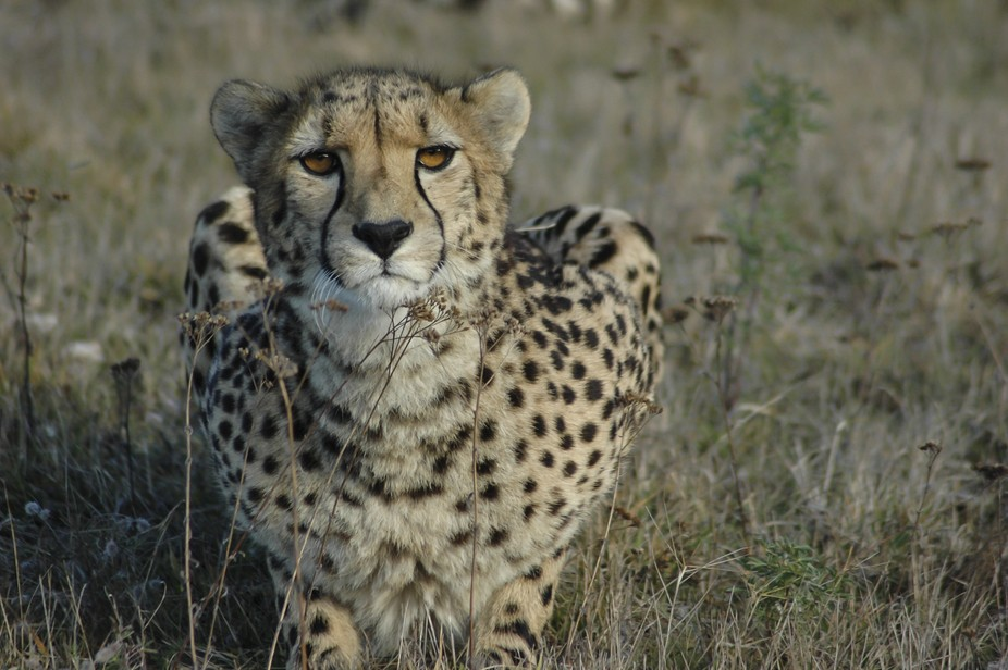 Cheetah female waiting for something to move!