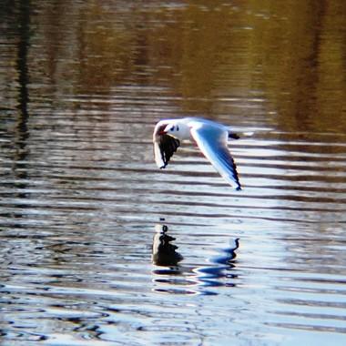 Flying Gull skimming river.