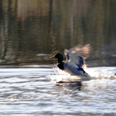 Mallard landing on the river.