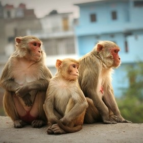 Urban macaques look out over the bustling city of Jaipur, India.