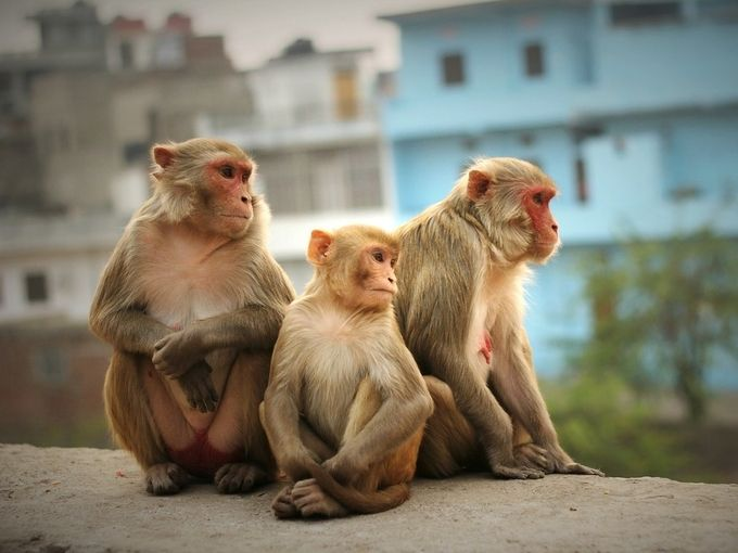 Jaipur onlookers by Alaric_McCarthy - Monkeys And Apes Photo Contest