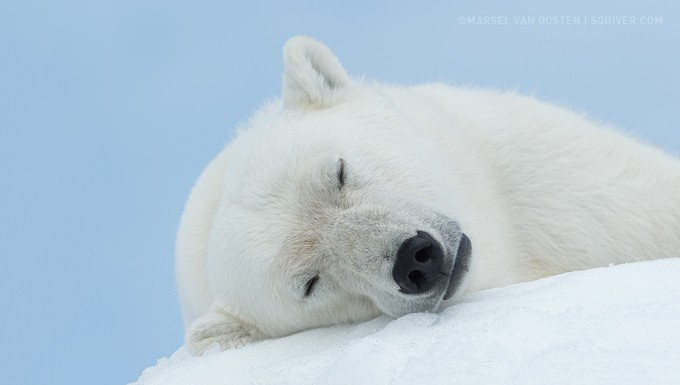 Sleeping Beauty by marselvanoosten - Wildlife In The Snow Photo Contest