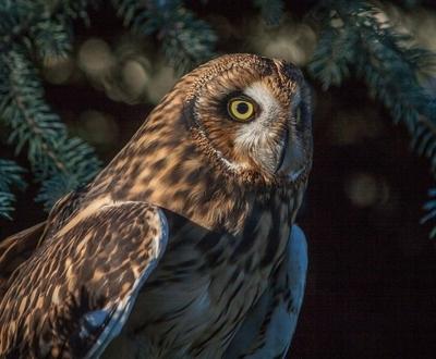 Short eared owl 1