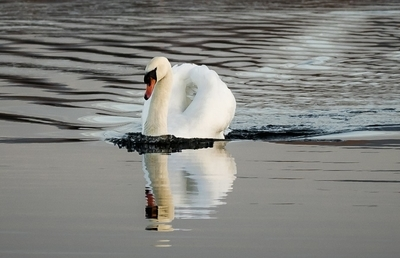 Swan on Glass Water