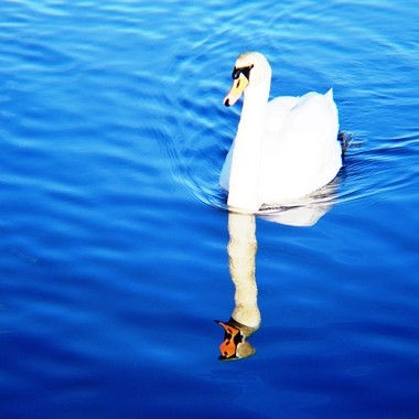 Swan swimming on river.