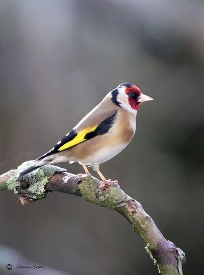 Goldfinch .