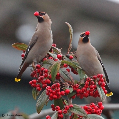 Two Waxwings with berries.
