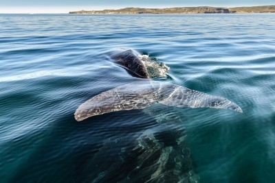 In Valdez Peninsula, Patagonia, Argentina, observing Right whale with calf underneath