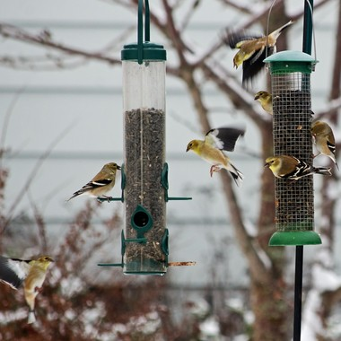 American Goldfinch activity at my bird feeders.