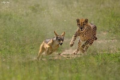 Cheetah chasing a Black-backed Jackal