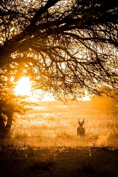 springbok-in-Morninglight