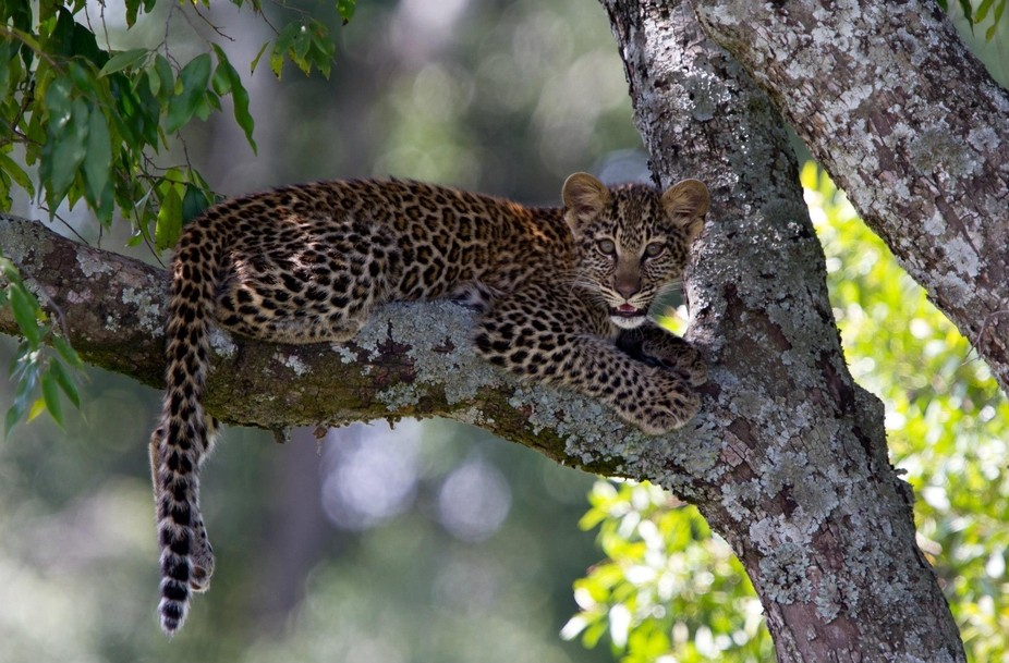A leopard cub comfortably sitting up high in a tree in the Masai Mara