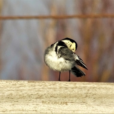 Observing this cute wagtail so busy pruning ,oblivious of my presence