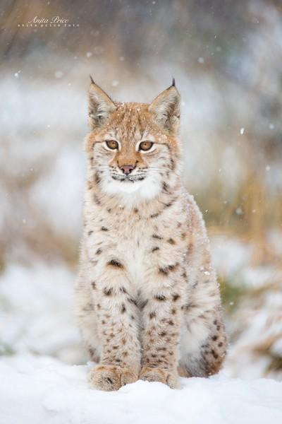 Lynx kitten in the snow