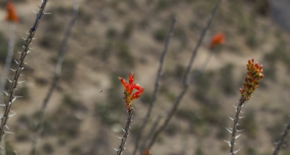 A bug approaches a blossom at the top of a Ocotillo desert plant