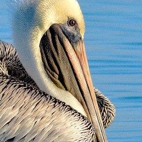 A pelican head against the blue water.