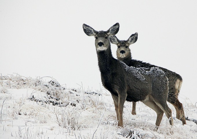 Its a Mule Deer Morning.  These two stared at me the entire time I was sitting there.
