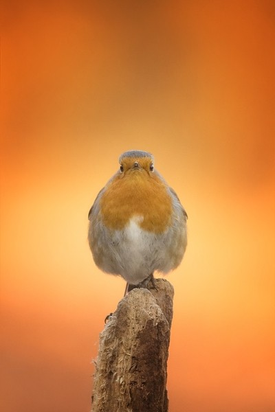 Robin at the sunrise