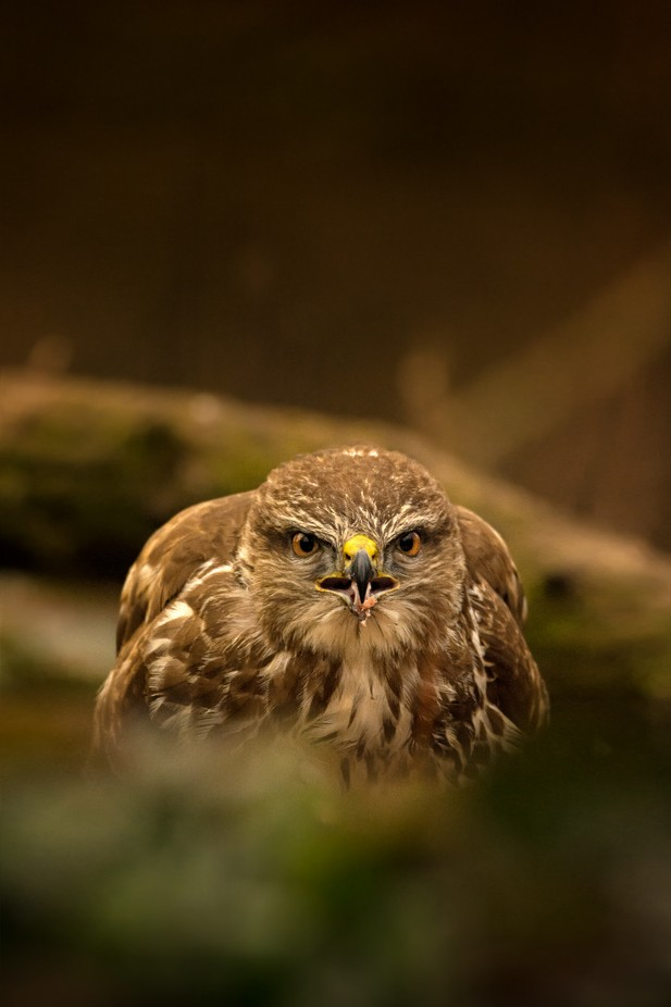 On the prey by fabrizioferraris - The Brown Color Photo Contest