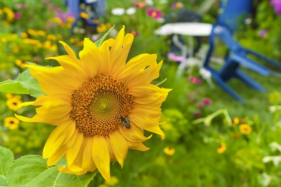 Sunflower in Rule Of Thirds