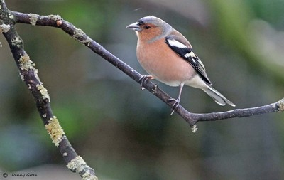 Cock Chaffinch in Summer plumage.