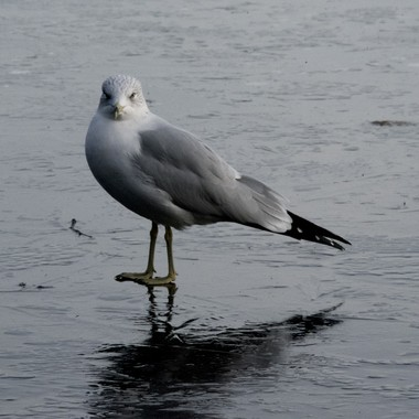 Sea Gull with Attitude