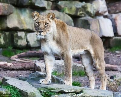 Not So Little Lion Cub