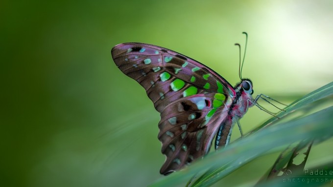 Butterfly by PaddieGB - Beautiful Butterflies Photo Contest