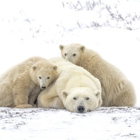 This beautiful polar bear family is on the tundra in Churchill, Manitoba, Canada, waiting for the ice to form so they can eat.