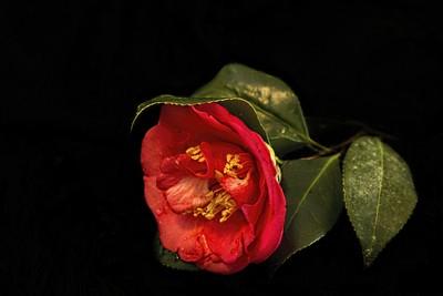 Camellia in the Dark