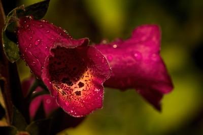 Red Foxglove in the Rain 0613