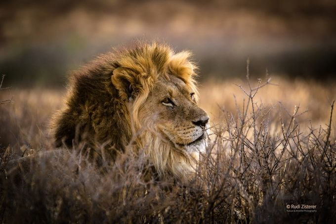 Lion in the Kalahari by zistos - Explore Africa Photo Contest