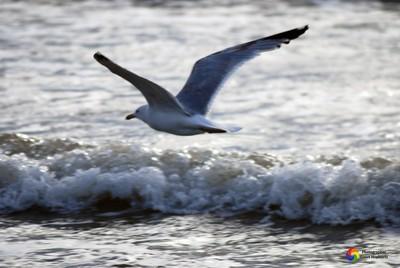 zeemeeuw aan de Noordzee - Seagull on the North Sea