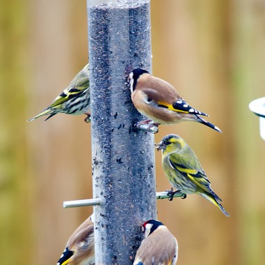 Goldfinches and Siskins feeding in my back garden