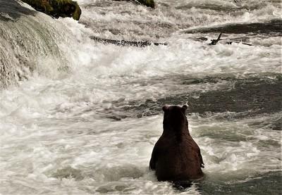 Alaska grizzly bear faceless
