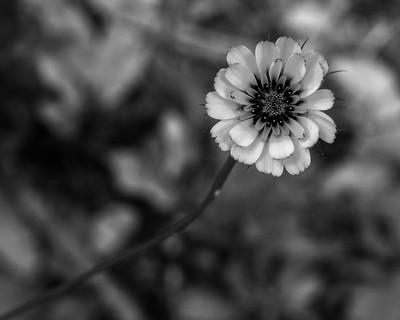 Flor da serra algarvia