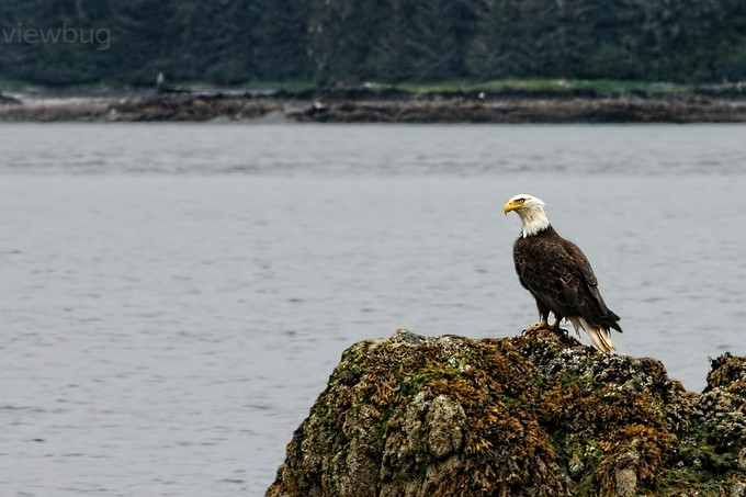 An Alaskan Eagle by KayBrewer - Just Eagles Photo Contest