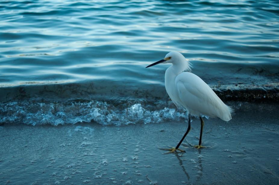 Snowy Egret Lets Me Get Close