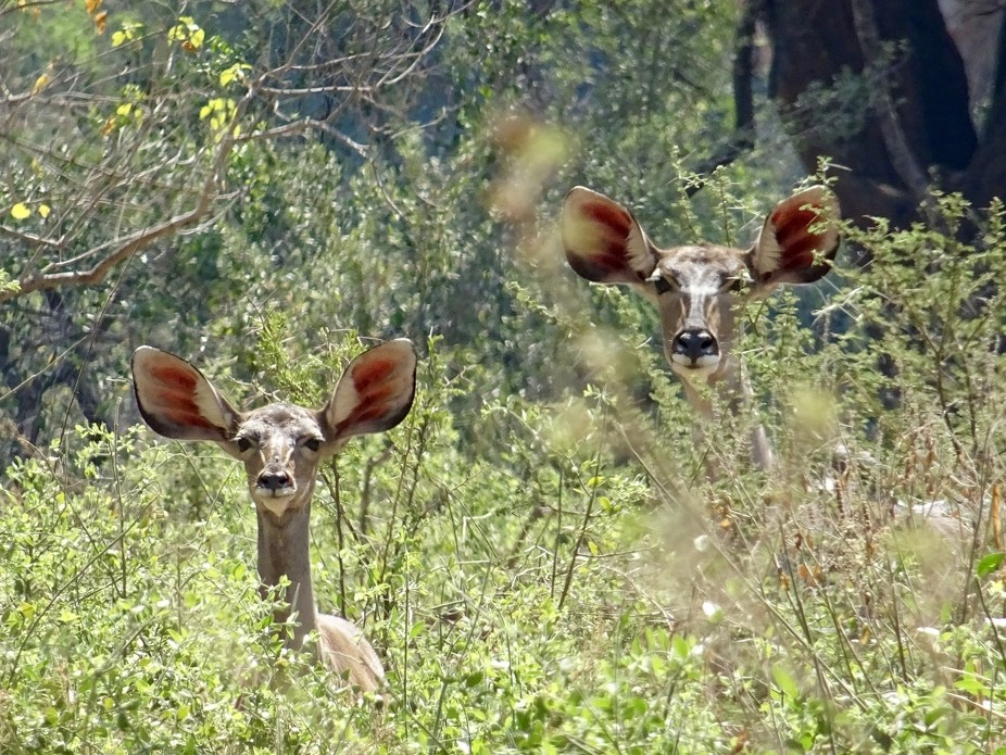 Two Kudu in the Kruger National Park, South Africa