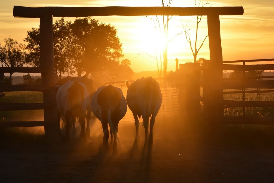 Finished for the day and the dairy cows, the sun and the dust all looked pretty good.