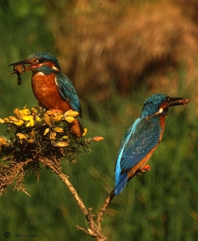Pair of Kingfishers with fish.