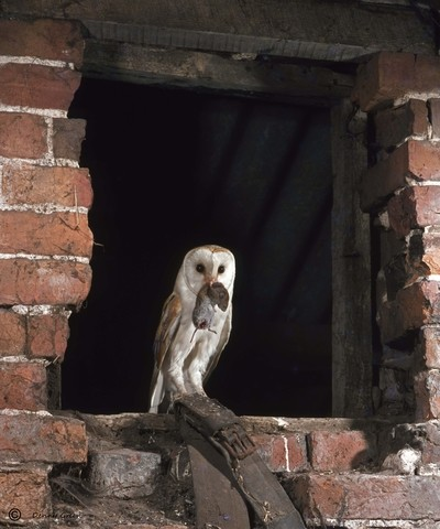 Barn Owl at window with a vole.