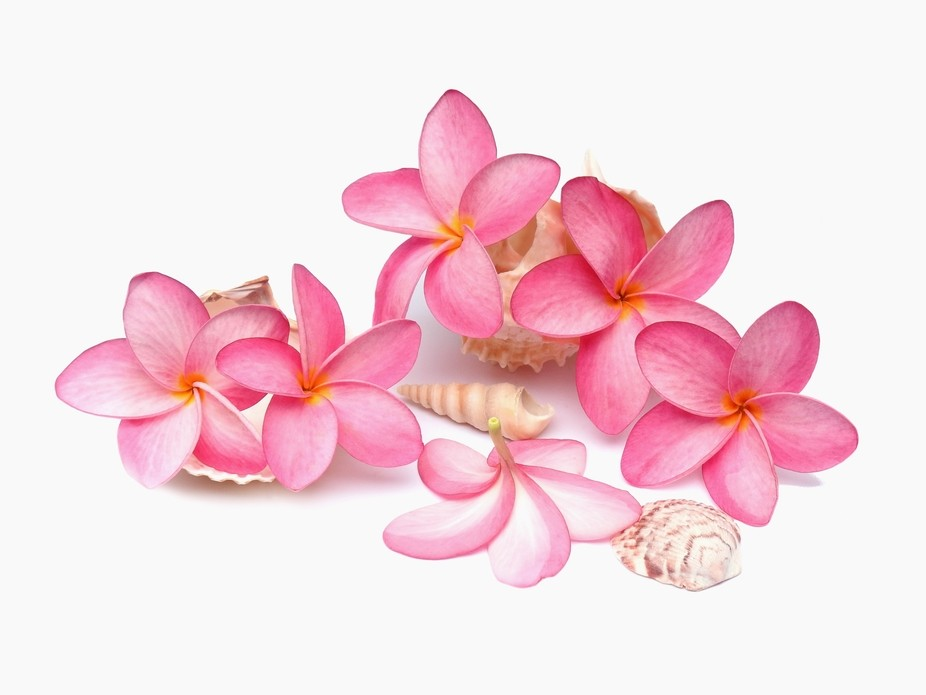 Fallen frangipani blooms from a very tall tree and shells collected on a beach