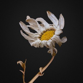 A dried Santa Barbara Daisy strikes a lively pose. --- A Single Flower: 18009 / 20674 Dancing Flowers: 4291 / 14382