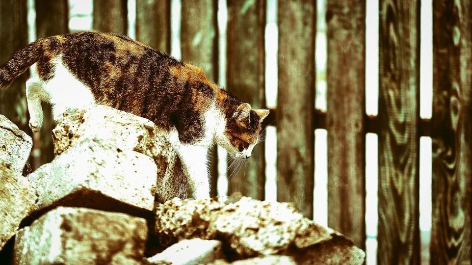 A carefull cat stepping on rocks