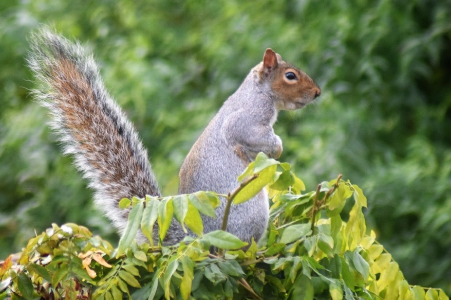 The Squirrels we get coming into our garden are very cheeky chappies; this one decided to pose fo...